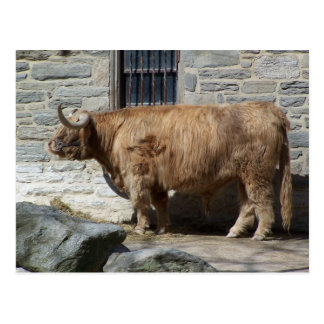Scottish Highland Cattle Portrait Postcard