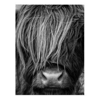 Scottish Highland Cattle - Scotland Postcard