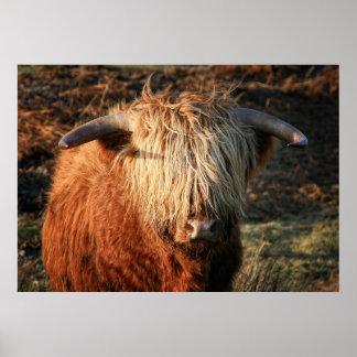 Scottish Highland Cow in Scotland, Highlander Poster