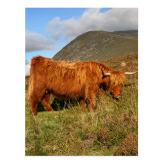 Scottish Highland Cows - Scotland Postcard