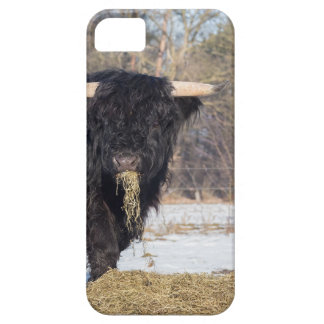 Scottish highlander bull eating hay in winter snow iPhone 5 covers