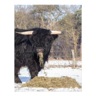 Scottish highlander bull eating hay in winter snow letterhead