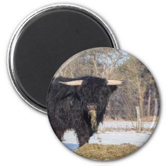 Scottish highlander bull eating hay in winter snow magnet