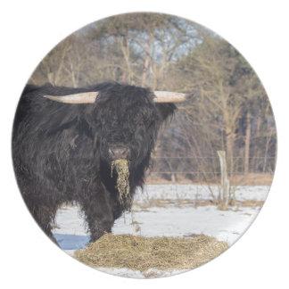 Scottish highlander bull eating hay in winter snow plate