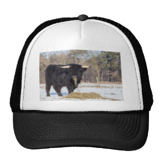 Scottish highlander bull eating hay in winter snow trucker hat