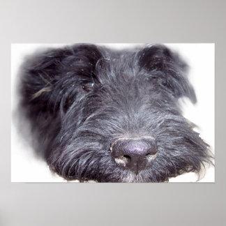 Scottish Terrier black, dog head close up nose Poster