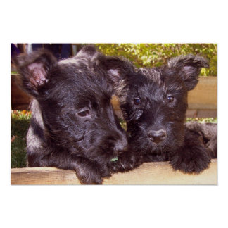 Scottish Terrier black happy puppies close up Poster