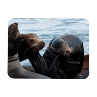 Scratching Sea Lions at West Port, WA Rectangular Photo Magnet