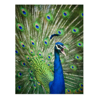 Screaming peacock postcard