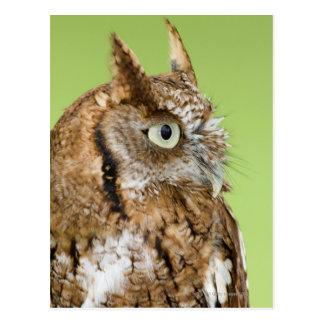 Screech owl portrait postcard