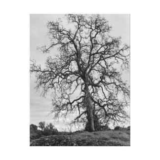 Scrub Oak Canvas Print