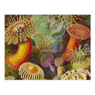 Sea Anemones Vintage Illustration Postcard