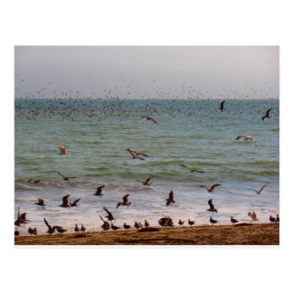 Sea Bird Swarm at California Beach Postcard