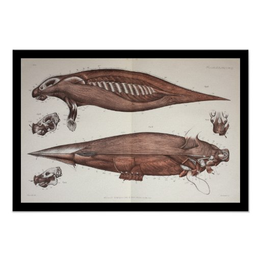 Sea Cow Manatee Marine Biology Anatomy Print