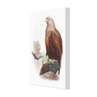 Sea Eagle John Gould Birds of Great Britain Nature Canvas Print