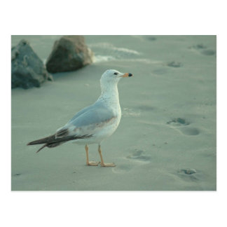 Sea Gull / Postcard