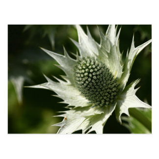 Sea Holly Postcard
