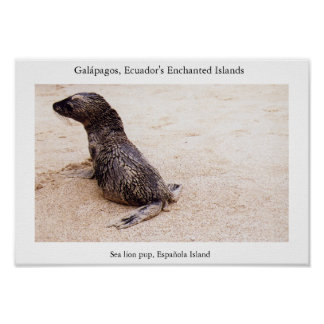 Sea lion pup after a tumble on the beach poster