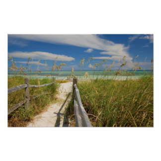 Sea oats Uniola paniculata) growing by beach, Poster