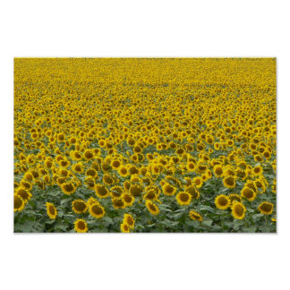 Sea of Sunflowers Poster