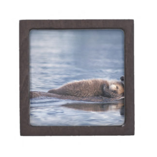 sea otter, Enhydra lutris lutris, mother with 2 Premium Gift Boxes