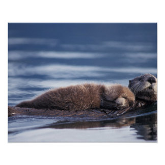 sea otter, Enhydra lutris lutris, mother with Poster