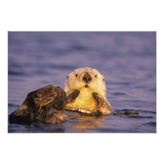 Sea Otters, Enhydra lutris 5 Photograph