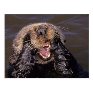 Sea Otters, Enhydra lutris 6 Postcard