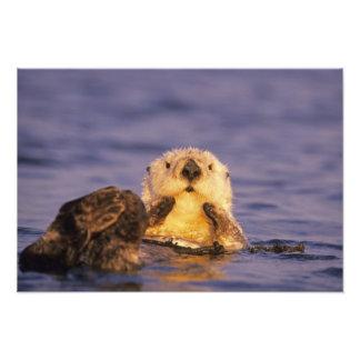 Sea Otters, Enhydra lutris Photo