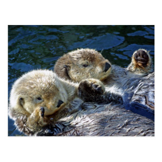 Sea-otters Postcard