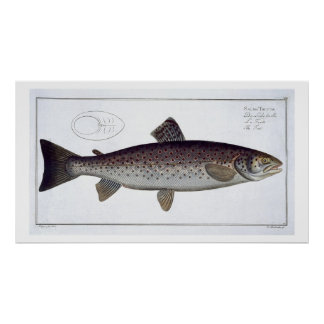 Sea Trout (Salmo Trutta) plate XXI from 'Ichthyolo Poster
