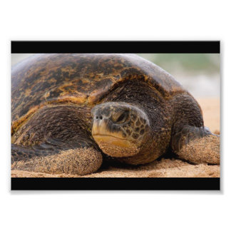 Sea Turtle Resting on the Beach in Hawaii Photo Print