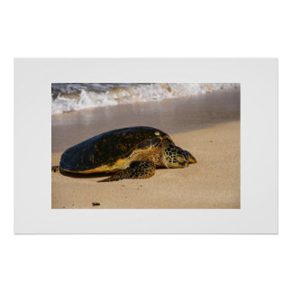 Sea Turtle Waimea Bay Hawaii Poster