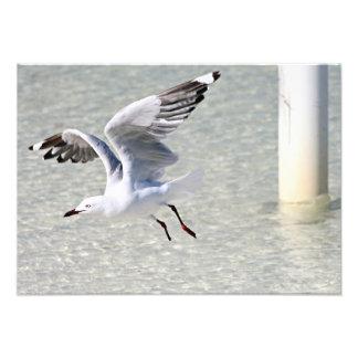 Seagull Rottnest Island Western Australia Photograph