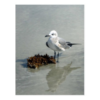 Seagull with Seaweed Postcard