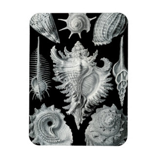 Seashells on Black #1 Magnet