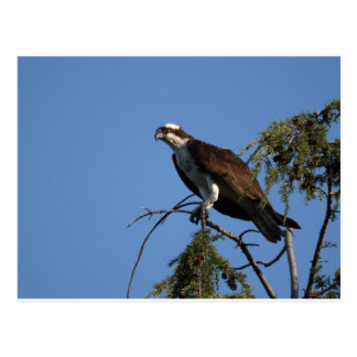 Seattle Osprey Postcard