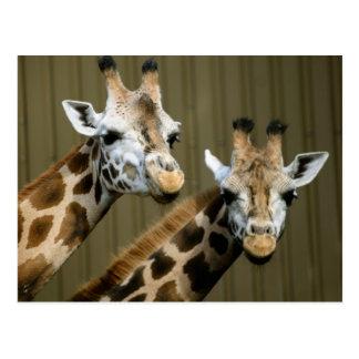 Seattle, Washington. Two giraffes Postcard