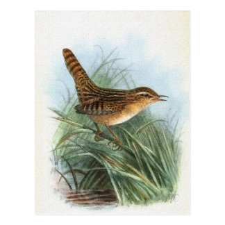 Sedge Wren Vintage Bird Illustration Postcard