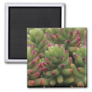 Sedum plant, Arizona-Sonora Desert Museum, Square Magnet