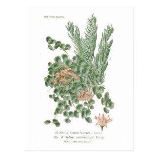 Sedum species postcard