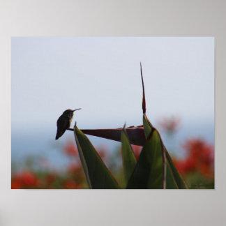 Selasphorus Hummingbird 16x12 Canvas Poster Print