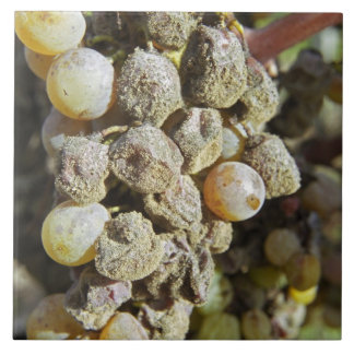 Semillon grapes with noble rot. at harvest time ceramic tile