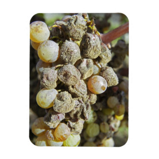 Semillon grapes with noble rot. at harvest time rectangular photo magnet