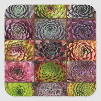 Sempervivum - Houseleek - Hauswurz - Collage Square Sticker