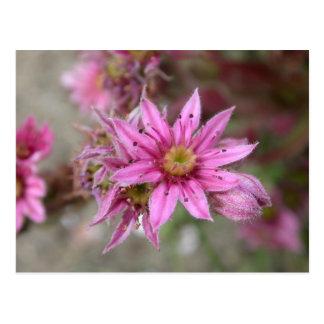 Sempervivum tectorum postcard