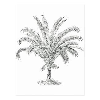 Senegal Date Palm Postcard