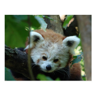 Senior Red Panda Postcard