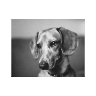 Sensitive Dachshund Canvas Print
