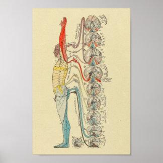 Sensory Innervation Nerves Medical Anatomy Chart